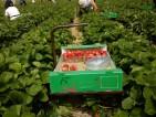 Praca przy zbiorach w Niemczech – zbiory truskawek, wiśni i malin od zaraz