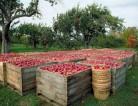 Wakacyjna praca w Holandii – zbiory jabłek i gruszek w Arnhem 2013