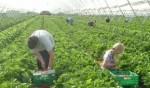 Praca w Anglii  Zbiory owoców w Conterbury bez znajomości języka od lipca