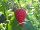 Fizyczna praca w Anglii przy zbiorach owoców i warzyw na farmie od sierpnia