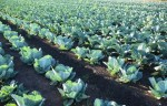 Sezonowa praca Niemcy przy zbiorach owoców i warzyw bez języka