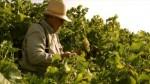 Hiszpania Praca przy zbiorach owoców i warzyw Valencia