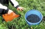 Szwecja praca zbiory runa leśnego – jagód, malin, borówki
