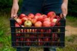 Sezonowa praca Niemcy przy zbiorach jabłek-gruszek od zaraz bez języka