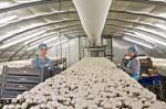 Praca w Holandii przy zbiorze pieczarek od zaraz bez języka