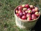 Oferty pracy we Francji – pracownik do zrywania jabłek