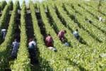 Praca we Włoszech zbiory winogron, wiobranie dwie lub jedna osoba