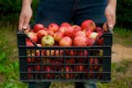 Praca Holandia przy zbiorze jabłek Emmeloord od zaraz bez znajomości języka