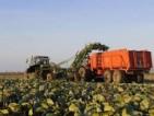 Praca w Holandii w rolnictwie przy zbiorach kapusty bez języka