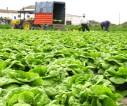 Praca w Niemczech w rolnictwie od zaraz przy zbiorach kapusty