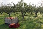 Zrywanie – zbiory jabłek praca we Francji od zaraz w Lille