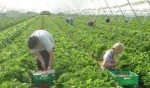 Sezonowa praca Niemcy przy warzywach Dortmund bez znajomości języka 2014