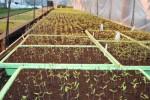 Ogłoszenie Niemcy praca przy sadzonkach 2014 bez znajomości języka Moguncja