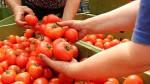 Holandia praca w Venlo w szklarnii przy zbiorach i pakowaniu pomidorów