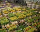 Praca w Holandii dla Polaków Roelofarendsveen przy kwiatach 2014