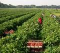 Sezonowa oferta pracy w Niemczech 2014 bez języka przy zbiorach truskawek Anklam