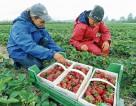 Hiszpania praca sezonowa od zaraz przy zbiorach truskawek bez języka Huelva
