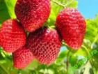 Dam sezonową pracę w Norwegii bez języka przy zbiorach owoców czerwiec 2014 Buskerud