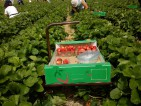 Fizyczna praca Szwecja przy zbiorach owoców truskawek na wakacje 2014 Motala