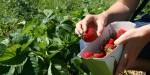 Sezonowa praca Anglia przy zbiorach truskawek bez języka Canterbury