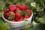 Oferta sezonowej pracy w Holandii przy zbiorach truskawek w szklarni Kronenberg