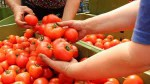 Holandia praca dla kobiet w szklarnii w Wellerlooi przy zbiorach pomidorów
