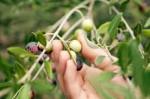 Dam fizyczną pracę we Włoszech bez języka przy zbiorach oliwek w Livorno