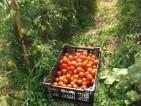 Praca Holandia przy zbiorach warzyw pomidorów i papryki Emmeloord