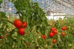 Niemcy praca sezonowa bez języka przy zbiorach pomidorów w szklarni