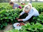 Oferta pracy w Holandii od zaraz przy zbiorach owoców miękkich Weert