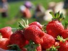 Praca w Niemczech przy zbiorach truskawek bez języka od zaraz Westrup