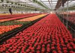 Praca w Wielkiej Brytanii przy zbiorach kwiatów w szklarni oraz z upraw polowych