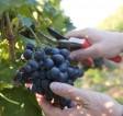 Winobranie 2014 Francja praca sezonowa przy zbiorach winogron od września Bordeaux