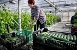 Bez znajomości języka praca Niemcy przy zbiorach warzyw w szklarni Cottbus