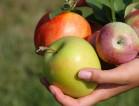 Praca Niemcy przy zbiorach jabłek i gruszek od sierpnia w Dresden