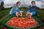 Sezonowa praca w Anglii bez języka przy zbiorach truskawek od czerwca 2014