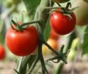 Praca sezonowa Norwegia przy zbiorach pomidorów w szklarni bez języka Hamar