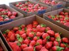 Hiszpania praca przy zbiorach truskawek i cytrusów bez języka Algorfa 2014
