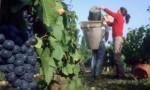Niemcy praca przy zbiorach winogron/winobranie bez języka Fellbach 2014