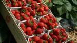 Oferta pracy w Danii bez języka w szklarni przy zbiorach truskawek ekologicznych