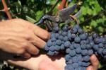 Dam pracę w Niemczech przy zbiorach winogron bez znajomości języka Kolonia