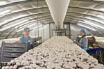 Oferta pracy we Włoszech przy zbiorach pieczarek od zaraz Neapol 2014