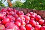 Zbiory aronii i jabłek Niemcy praca sezonowa bez znajomości języka Budziszyn