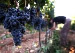 Praca Anglia bez znajomości języka przy zbiorach winogron od zaraz Luton