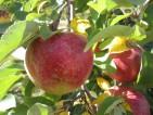 Zbiory jabłek, gruszek dla par/grup oferta pracy w Niemczech od zaraz Magdeburg