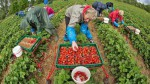 Niemcy praca bez języka dla kobiet przy zbiorach porzeczek, truskawek