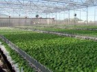 Aktualna praca w Holandii od zaraz przy zbiorach brokułów Groningen