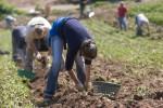 Sezonowa praca we Francji bez znajomości języka od zaraz zbiory ziemniaków