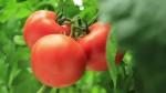 Dam sezonową pracę w Anglii bez języka zbiory pomidorów w szklarni Bradford