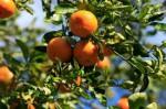 Sezonowa praca Hiszpania przy zbiorach owoców dla par bez znajomości języka
